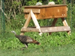 Wild turkey in front of hive